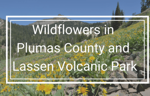 Wildflowers in Plumas County & Lassen Volcanic Park