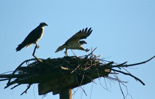 Ospreys near Bear Spirit Lodge B&B at Ninepipe National Wildlife Refuge