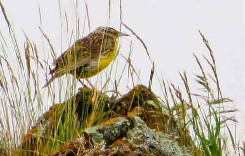 Western Meadowlark Habitat at National Bison Range near Bear Spirit Lodge