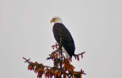 Montana Bed and Breakfast Eagle Beauty