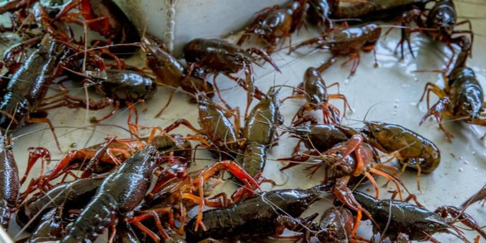 Brief History of Crawfish Farming in Louisiana