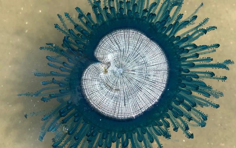 Blue Hydrozoans