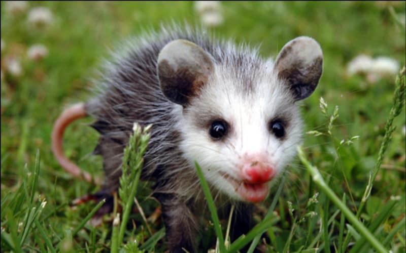 Virginia Opossum (Didelphis virginiana)