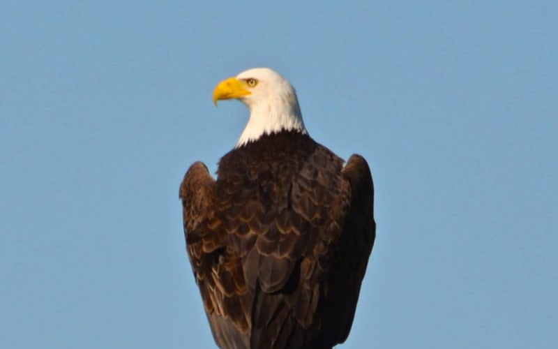 The Bald Eagles have landed in the Columbia River Gorge