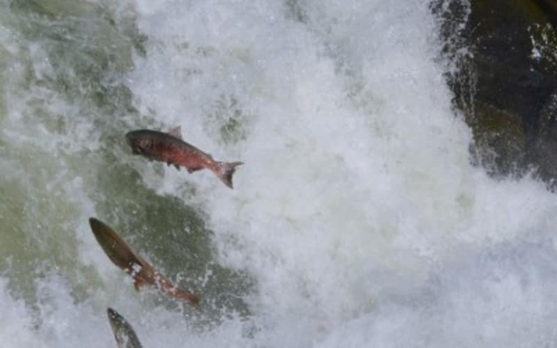 Klickitat River Salmon Spawning