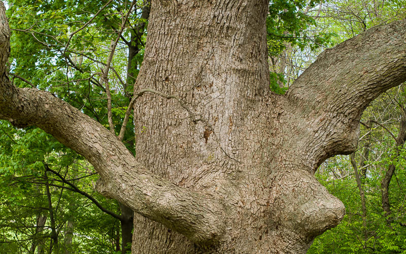 The Oldest Tree in Kentucky