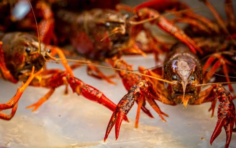 History of The Crawfish in Louisiana
