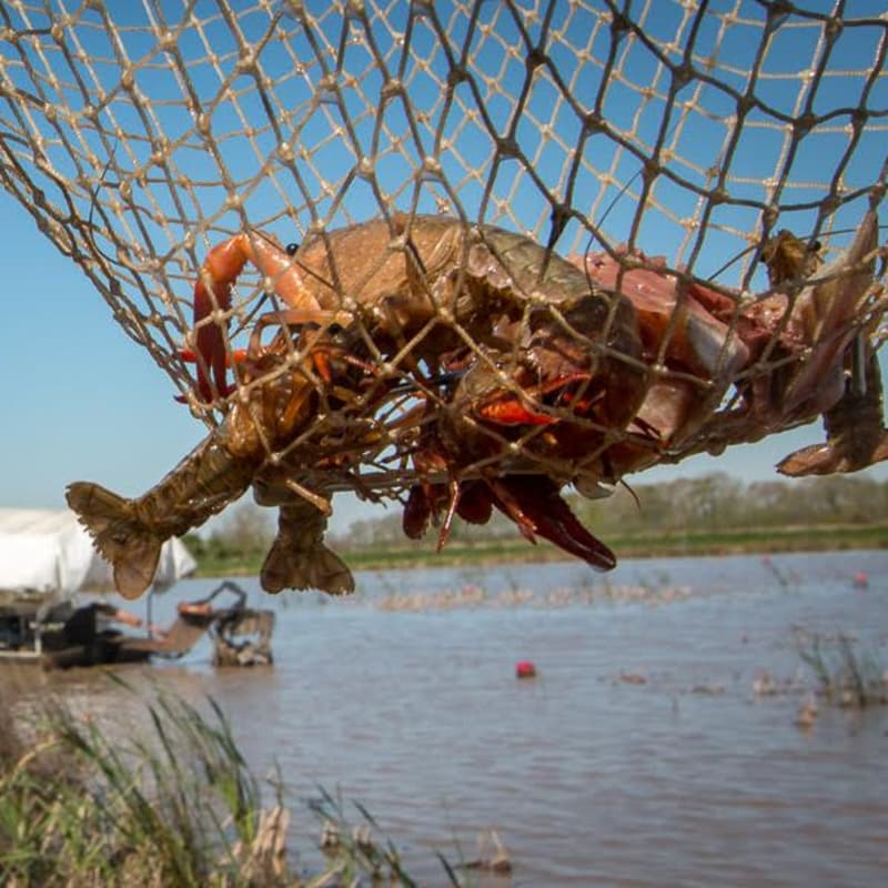Crawfish caught in Net (Photo: Christopher LeCoq)