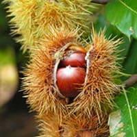 Chestnuts, castaños, fill the valley