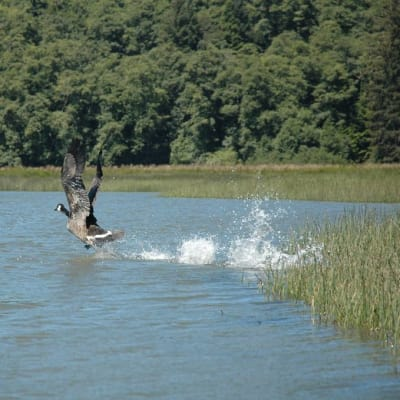Goose takes flight on Bakers Bay