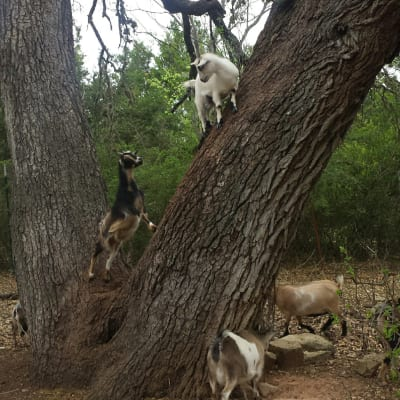 Our baby goats playing in one of the hundred-year-old oak trees on the property
