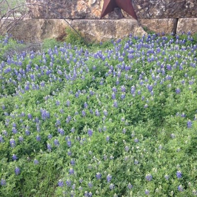 Bluebonnets in front of our entrance gate