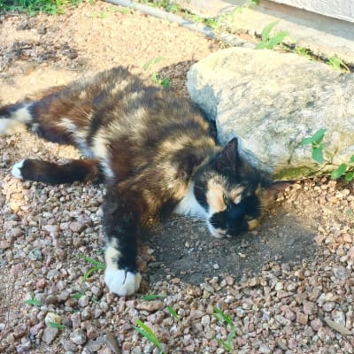 Cali the calico, our gorgeous farm cat, enjoys a sunny day in the garden