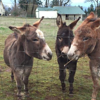 Local Miniature Donkeys