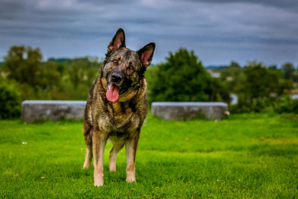 The Amazing Capabilities of Search and Rescue Dogs