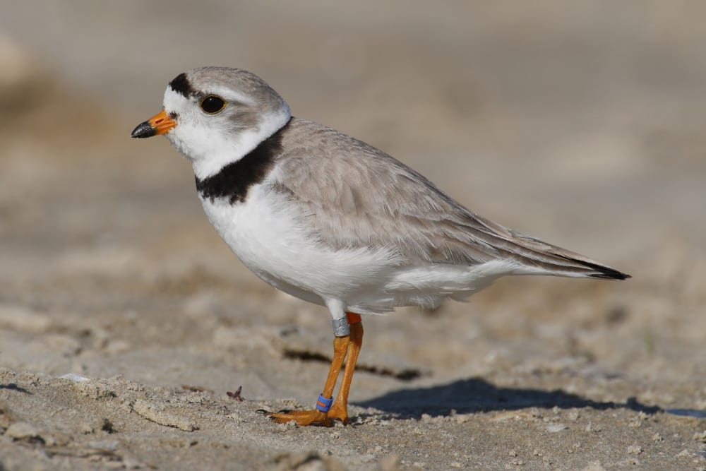Piping Plovers: 3 stories intertwined on Little St. Simons Island