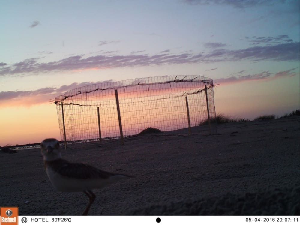 Experimenting with Predator Exclosures at Wilson's Plover Nests