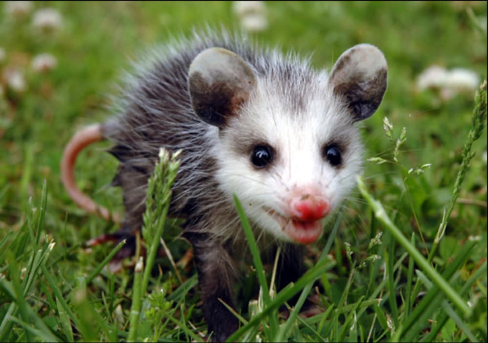 Virginia Opossum (Didelphis virginiana) | The Lodge on Little St ...
