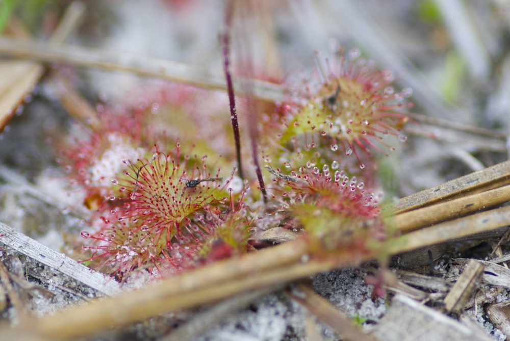 The Song of the Sundew