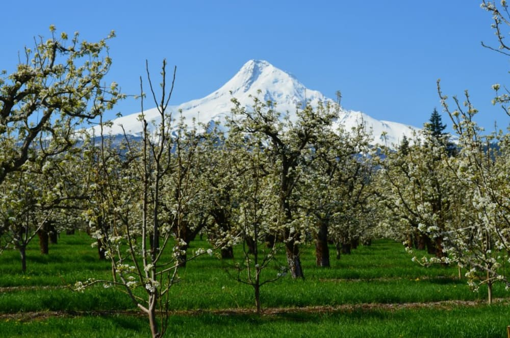 Hood River County Blossoms