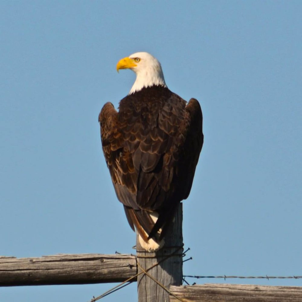 the bald eagles have landed in the columbia river gorge old