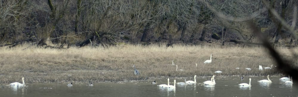 Tundra Swans Return to Mirror Lake Marks the Beginning of Winter For Me