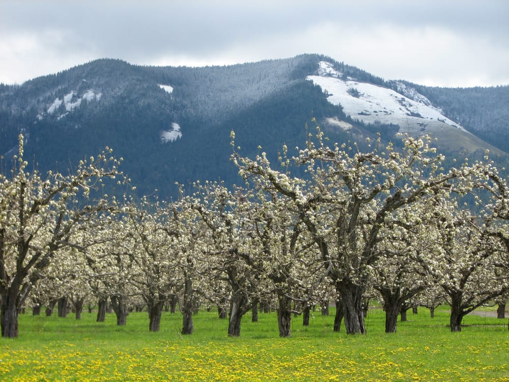 Winter's Holding On in the Hood River Valley
