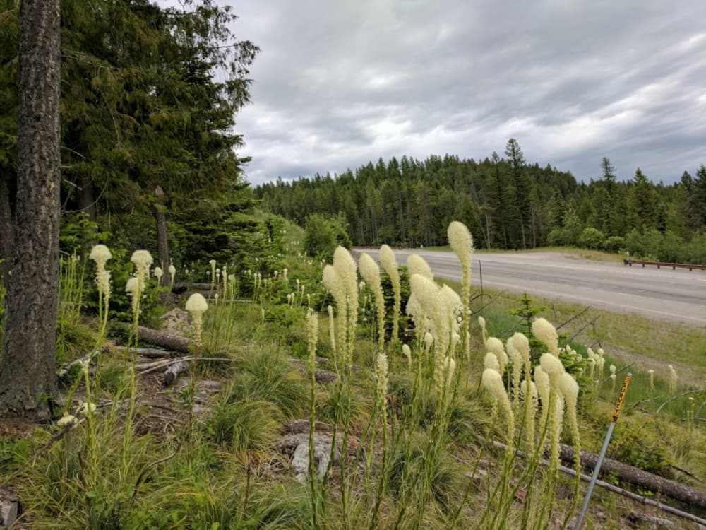 Whitefish Bear Grass bloom is amazing this year - here are 7 interesting facts about this plant