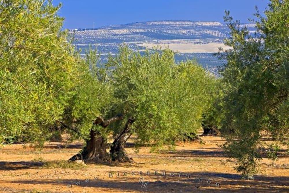 Tasting Olive Oil aka Oleoturismo