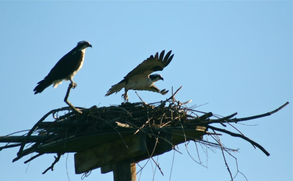 Ospreys near Bear Spirit Lodge B&B at Ninepipe National Wildlife Refuge