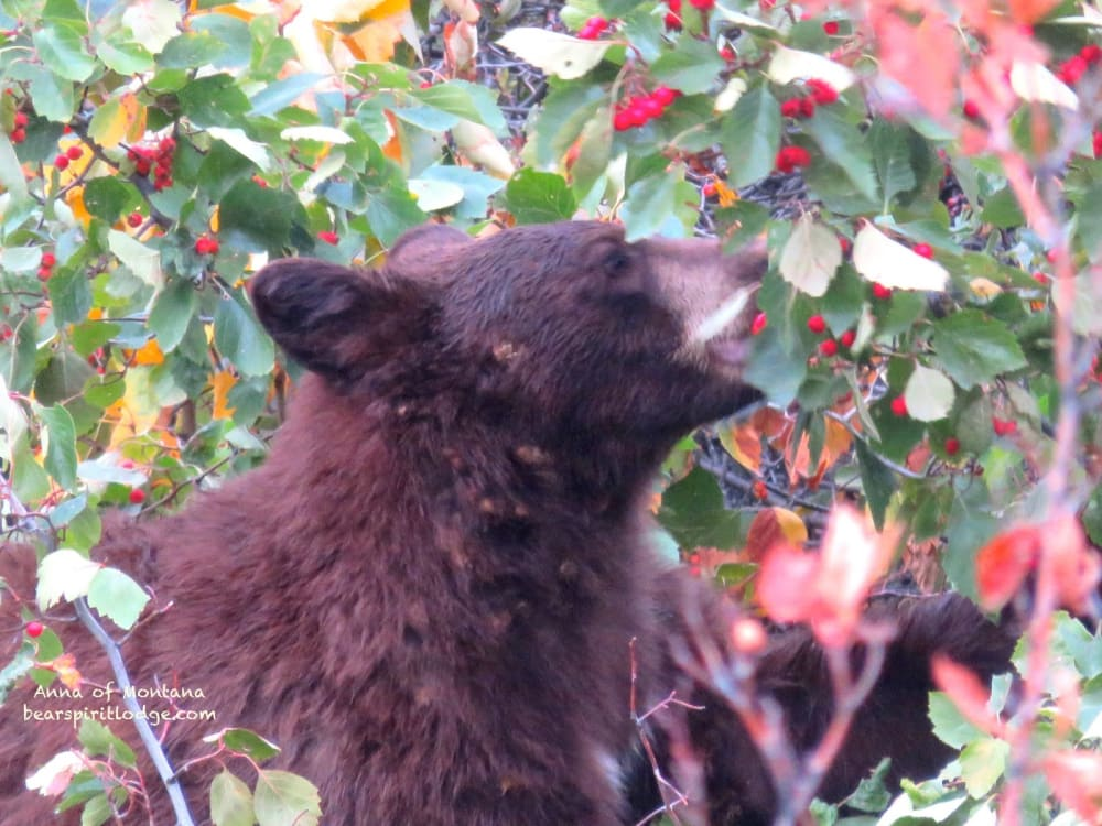 Bears Eating Rosehips at the National Bison Range near Bear Spirit Lodge