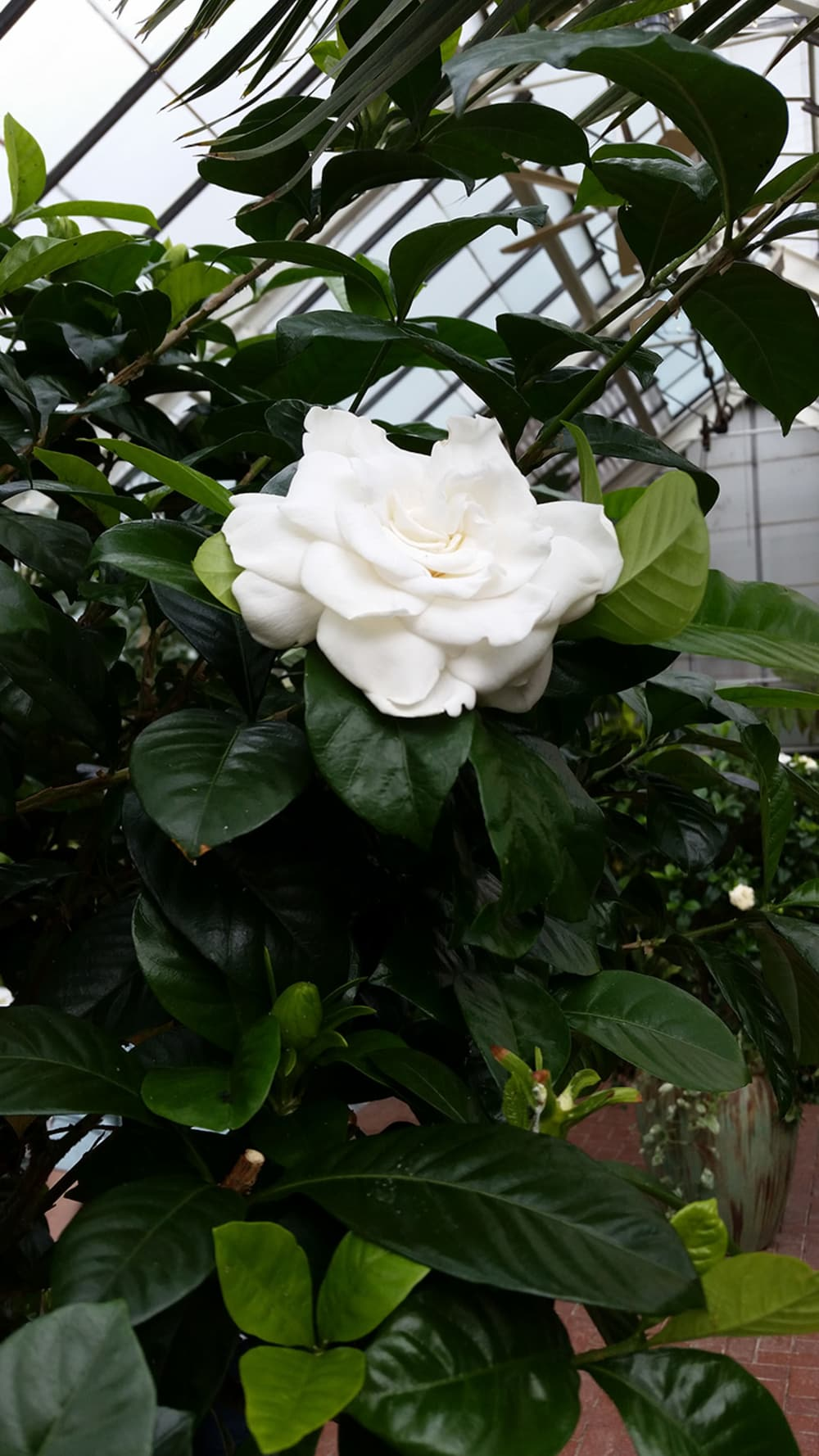 Gardenia at the Conservatory