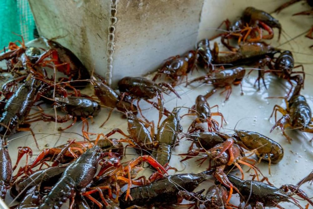 Brief History Of Crawfish Farming In Louisiana Crawfish Haven Bed