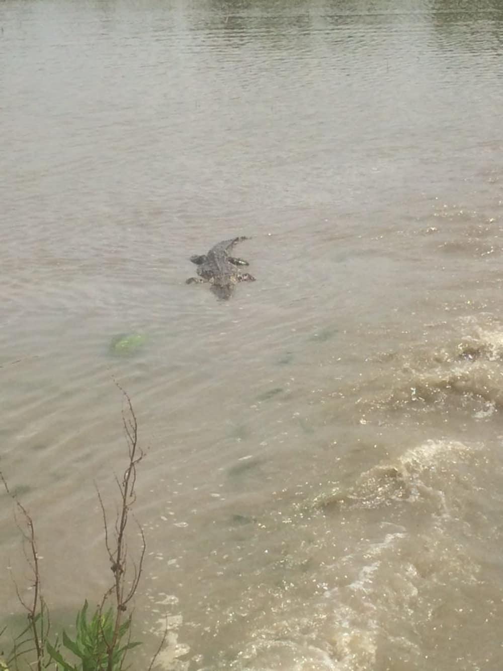 Alligators in my Crawfish Pond!