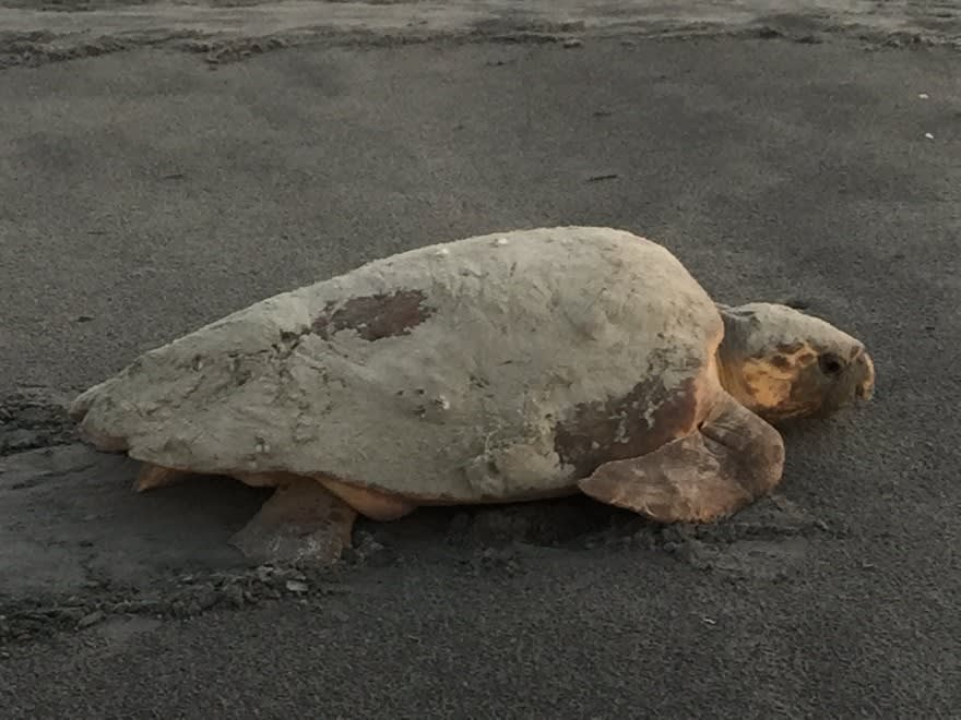 "Sea Turtles in Georgia- A Reason for ""Shell-abration"""