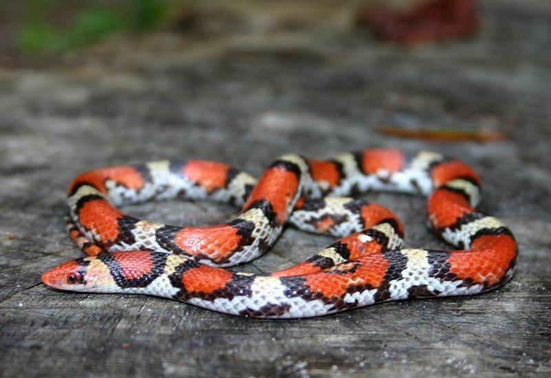 The Scarlet Snake
