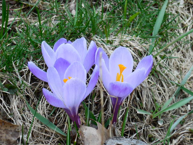 Signs of Spring - Perennials Push Through the Soil