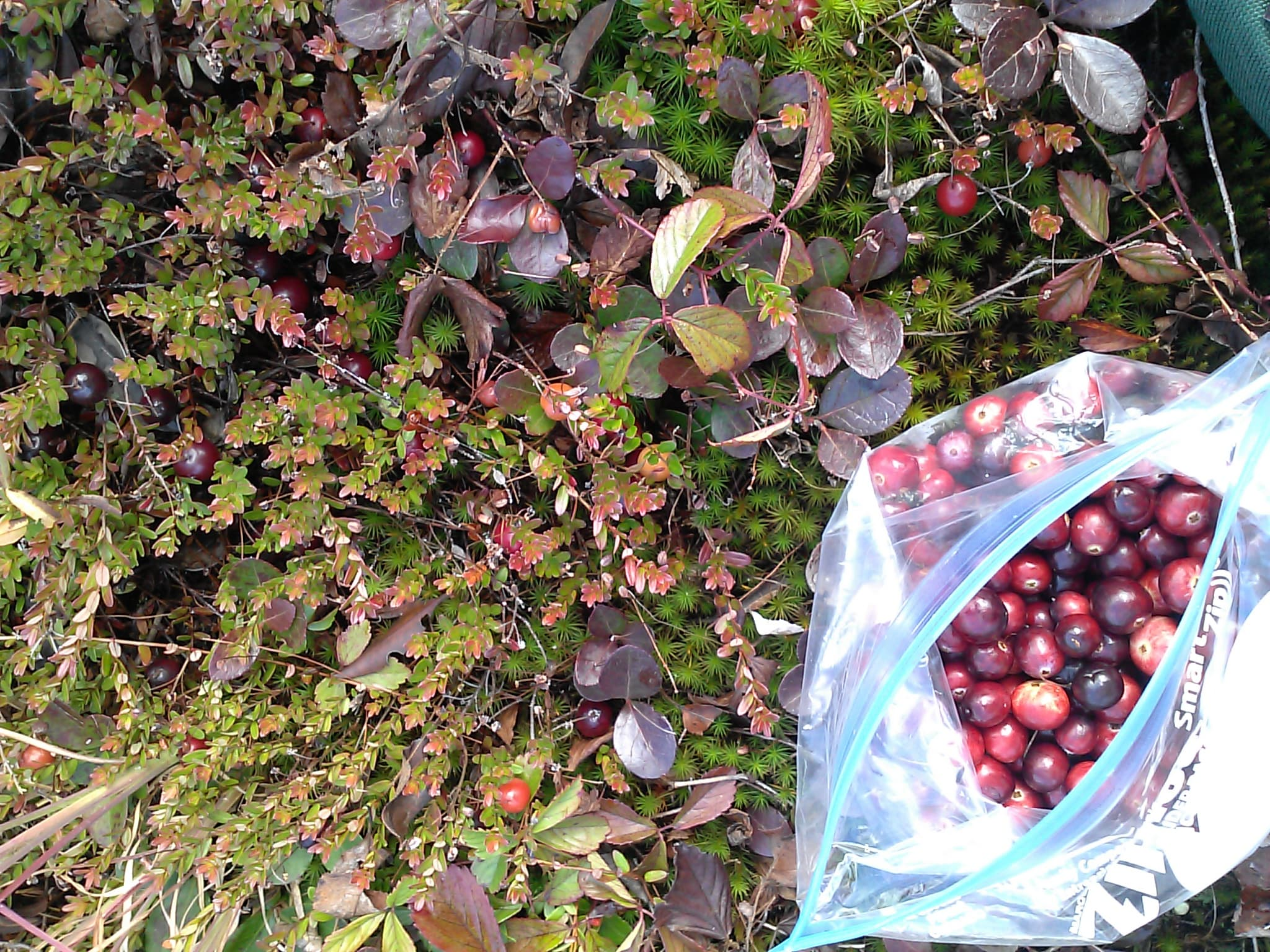 Berry Picking Near Canaan Valley: No Longer Off the Map